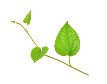 betel: Green betel leaf isolated on white background