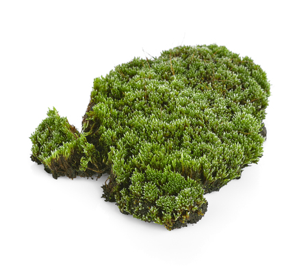 bakground: Green moss isolated on white bakground