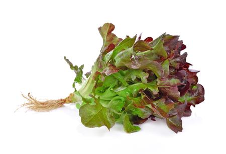 Fresh red oak lettuce isolated on white background. Stock Photo