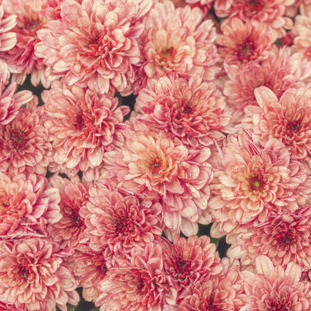 Coral pink chrysanthemum flowers background texture stock photo coral pink chrysanthemum flowers background texture stock photo 97208999 mightylinksfo