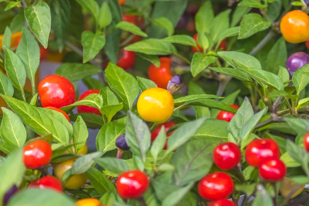 Colorful berries of nightshade, close-up Banque d'images