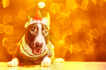 Bull Terrier in Santa Claus hat and sweater lying on a bright background with bokeh