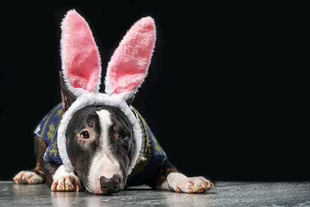 Black and white mini bull terrier with hare ears on the head on a black background Stock Photo