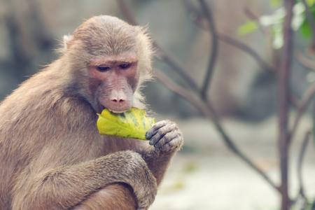 A baboon monkey eats a leaf