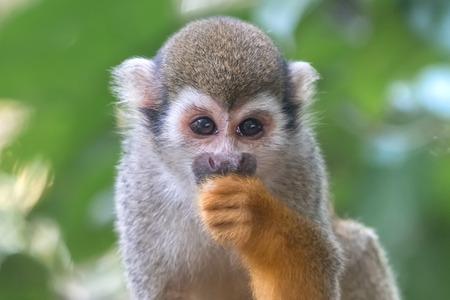Common squirrel monkey (Saimiri sciureus) eats