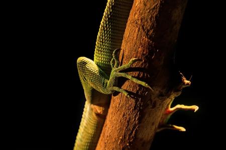 bright green lizard on a branch in the terrarium Stock Photo