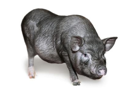 Vietnamese Pot-bellied pig. Cute little black piglet. Pig breeding. Isolated on white
