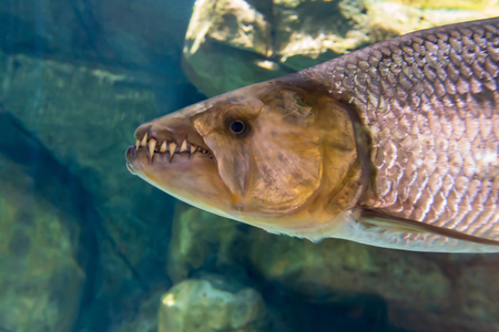 Predatory fish with teeth under water