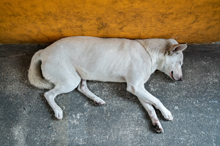 Large white stray dog sleeping near the wall