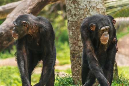 A pair of chimps with a baby Reklamní fotografie