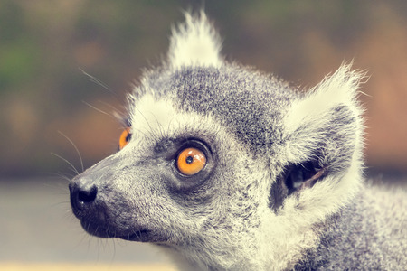 Lemur portrait, close-up