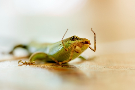 A green lizard eats an insect