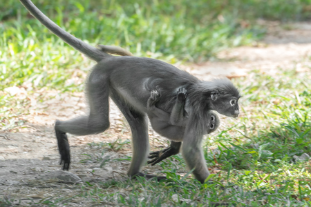 Dusky Leaf Monkey or Spectacled Langur (Trachypithecus obscurus). Female with baby