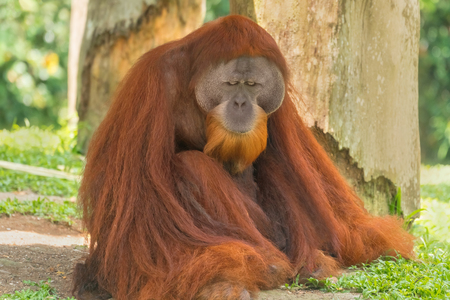 Bornean Orangutan (Pongo pygmaeus) sitting on the ground in the forest