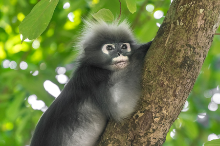 Dusky Leaf Monkey or Spectacled Langur (Trachypithecus obscurus) on the trunk of a tree