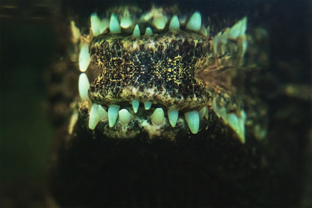 Crocodile teeth reflected in water Reklamní fotografie