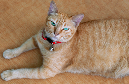 Beautiful orange cat in a red collar lying on a tile