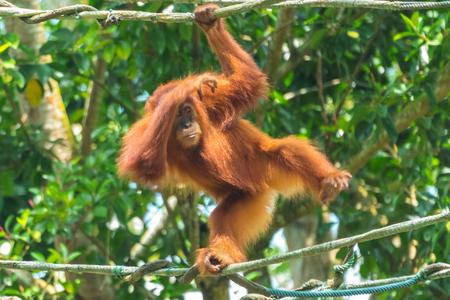 Orangutan hanging on a rope Foto de archivo