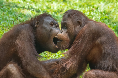 The fight of two orangutans