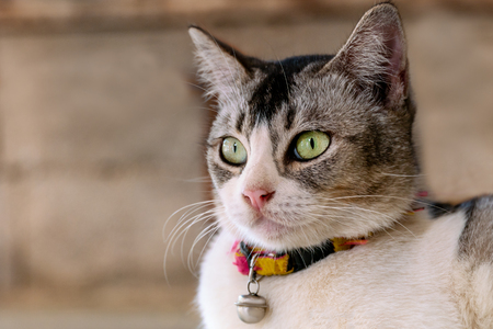 Portrait of a green-eyed cat with a bell on the neck Reklamní fotografie