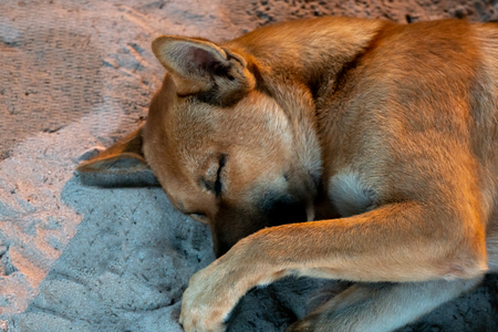A large brown dog sleeps on the sand with its muzzle covered with a paw