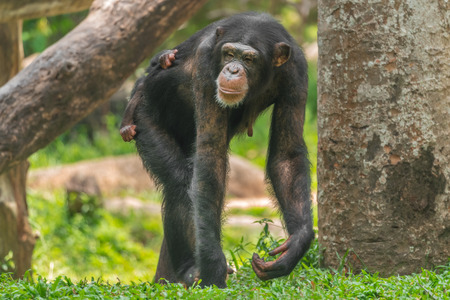 A female chimpanzee with a baby on her back Reklamní fotografie