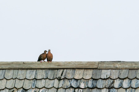 Two dove on the roof