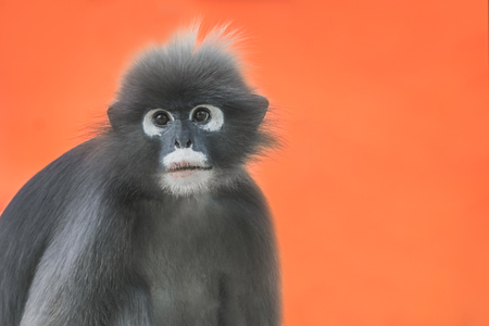 Dusky Leaf Monkey or Spectacled Langur (Trachypithecus obscurus) portrait on an orange background Reklamní fotografie