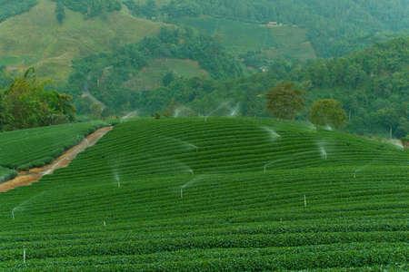Tea plantation in the mountains. photo