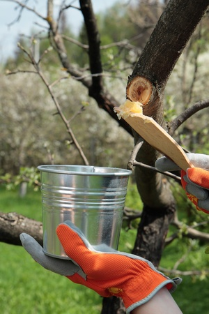 Covering spot of pruning apple tree with garden pitch