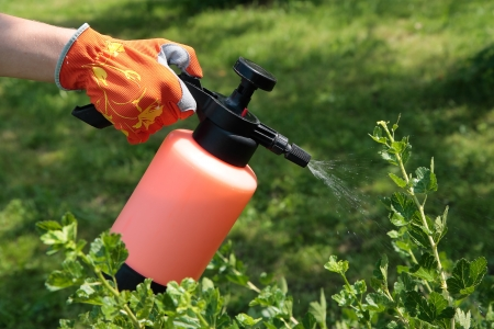 Spraying gooseberry bush against pests in garden