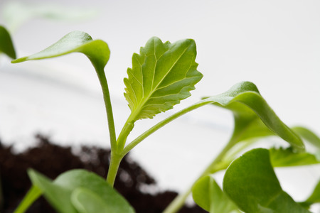 Cabbage seedling with two cotyledons and one true leaves Standard-Bild