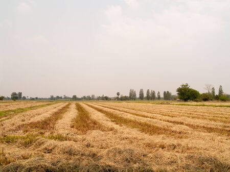 The straw dry in the field with a sky background