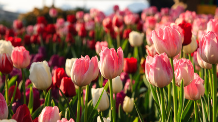 Colorful tulips field in spring time  photo