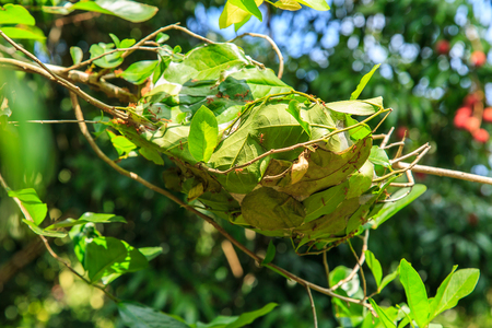 WEAVER: Red ant nests on lychee fruit tree, ants building a nest of leaves