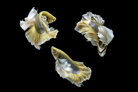 dragon swim: Capture the moving moment of siamese fighting fish, betta fish isolated on black background, golden big-ear