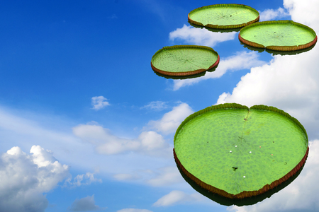 big leafs: Big lotus leafs isolate on beautiful blue sky with clouds.