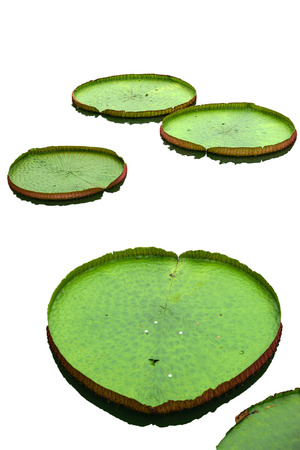 big leafs: The big lotus leafs isolated on white background.