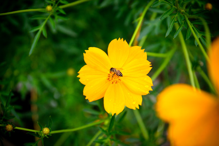 fragile peace: Bees are drinking the nectar of the flower cosmos. Stock Photo
