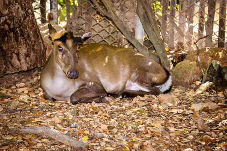 barking: Common Barking Deer sitting in a cage in a zoo.
