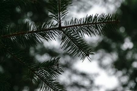 winter tree: Green leaves of a pine tree in a winter landscape.