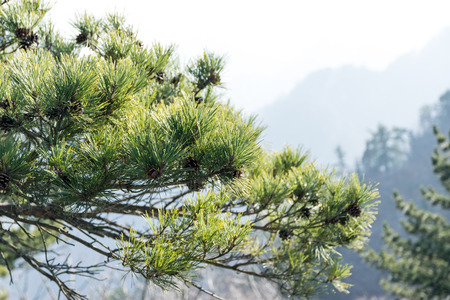 drifting: Green leaves of a pine tree in a winter landscape.