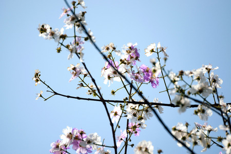 blanch: Blooming blanch with flowers of peach tree in spring over blue sky background. Stock Photo