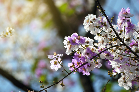 blanch: Blooming blanch with flowers of peach tree in spring. Stock Photo