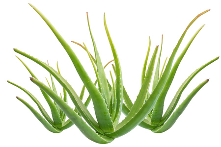 obtained: Aloe vera is a gelatinous substance obtained from a kind of aloe, used especially in cosmetics as an emollient and for the treatment of burns.