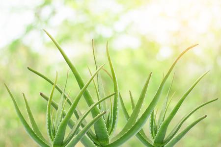 アロエベラは、飲み物、シャンプー、スキン クリームなどに多くの利点を持つ植物です。 写真素材