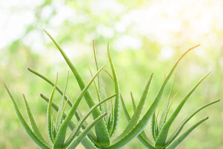 El aloe vera es una planta con muchos beneficios tanto para hacer una bebida, champú, crema para la piel y mucho más. Foto de archivo