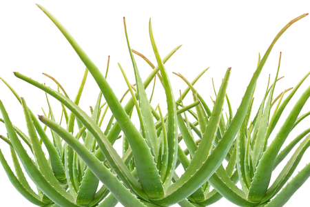 aloe stem: Group of the stem of aloe vera on white background, Aloe vera is a plant with many benefits. Stock Photo