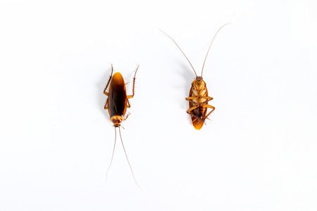 Closeup of cockroach isolated on white background. Stock Photo