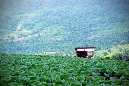 cottage garden: Closeup cottage garden cabbage grown on the mountain. in Thailand. Stock Photo